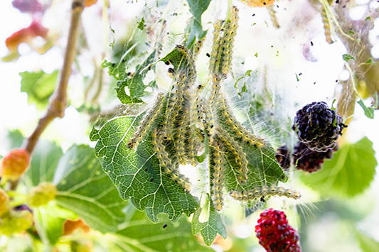 caterpillars-webworms-insect-pest-red-mulberry-tree