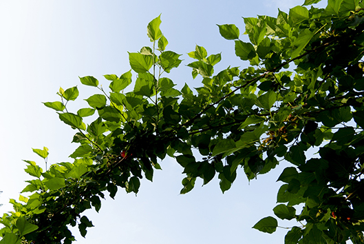 red-mulberry-tree-branch-chicagoland-illinois