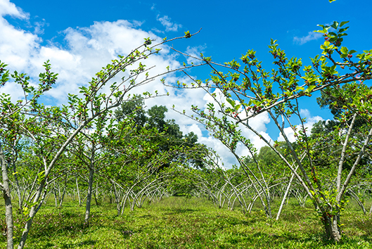 young-red-mulberry-tree-farm-illinois