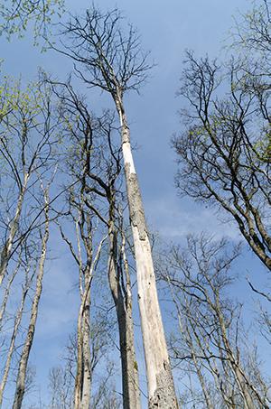 dead-american-elm-tree-dutch-elm-disease