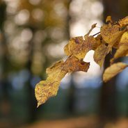 Dutch Elm Disease: Symptoms and Management
