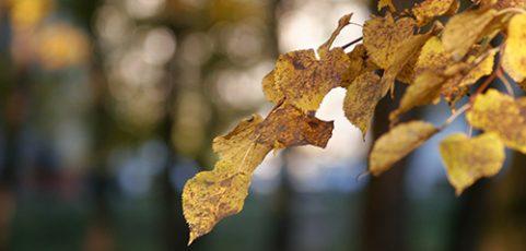 Dutch Elm Disease: Symptoms and Management