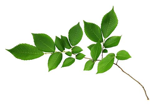 green-elm-tree-leaves-illinois