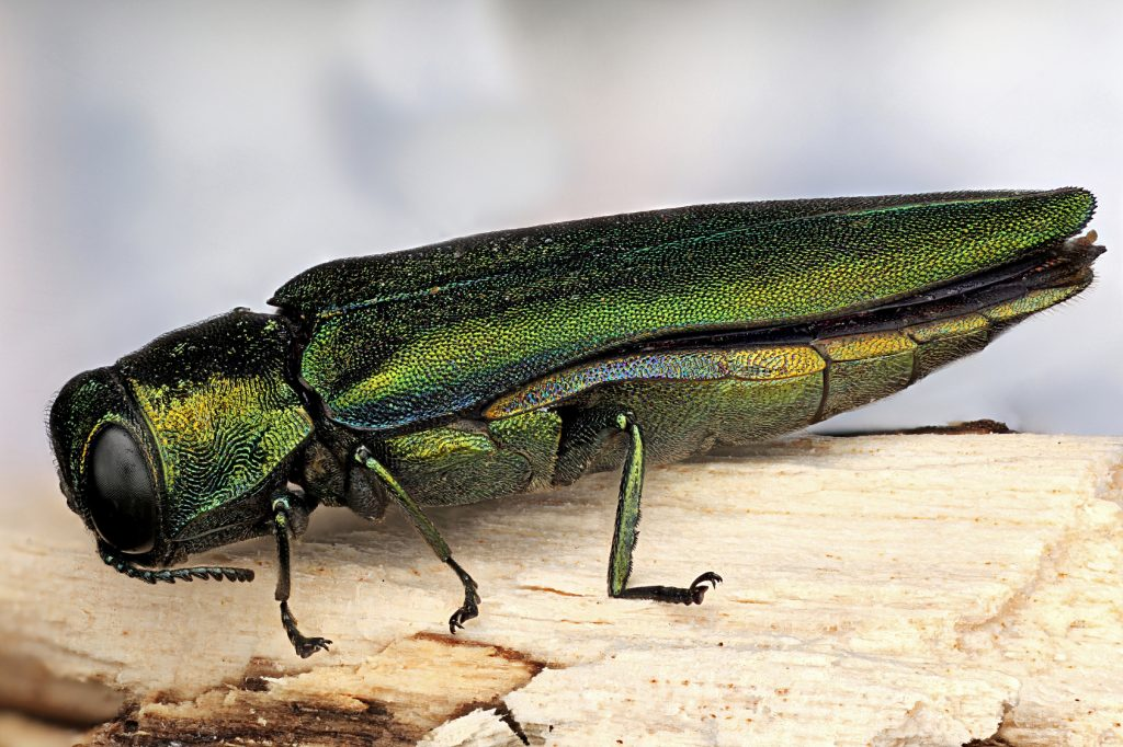 emeral-ash-borer-on-tree-trunk-chicago-il