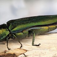 Emerald Ash Borer: Identification and Prevention