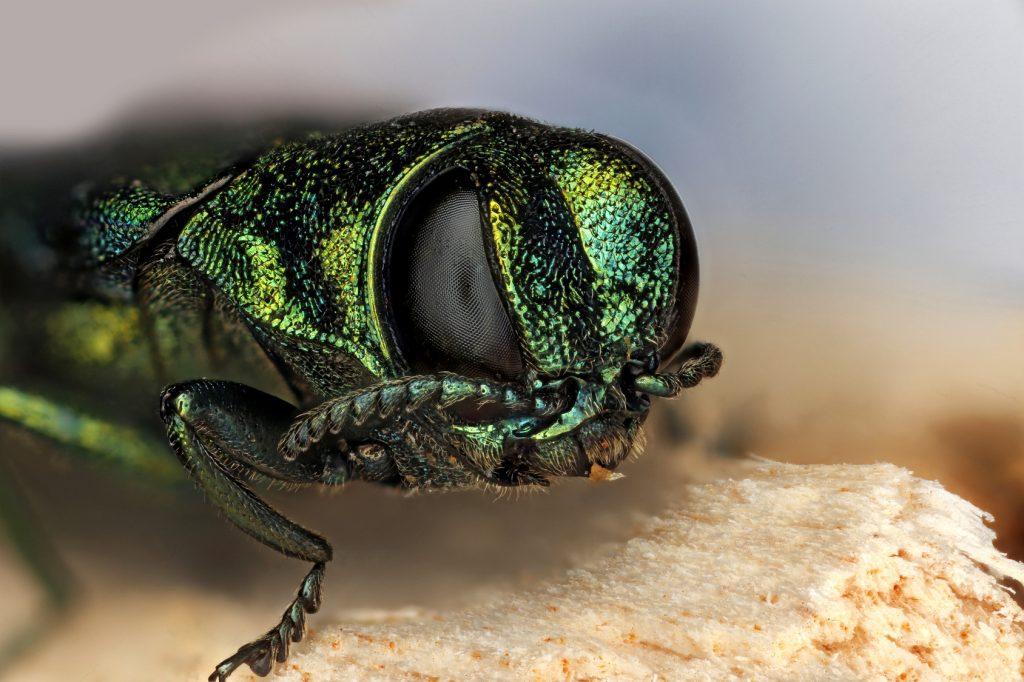 emerald-ash-borer-closeup