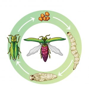 emerald-ash-borer-life-cycle-stages