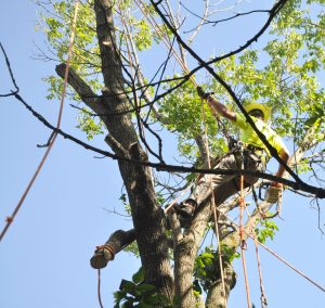 tree-removal-from-emerald-ash-borer-illinois