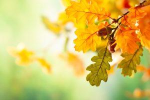 oak-tree-leaves-prevent-identify-wilt-disease