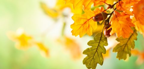 Oak Wilt: Recognizing and Managing the Symptoms
