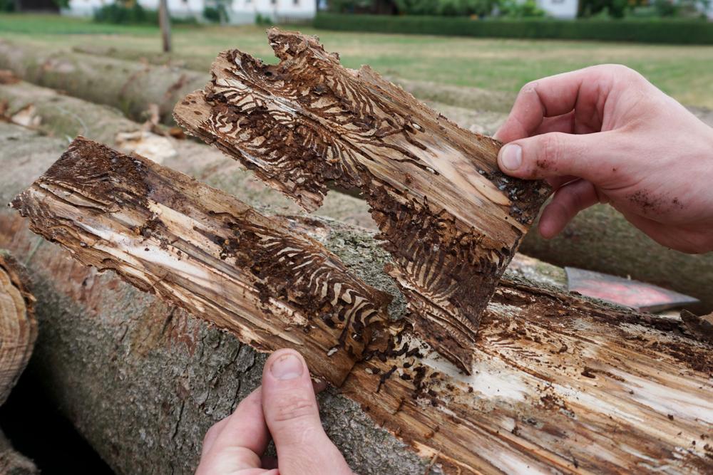 bark-beetle-damage-to-illinois-tree