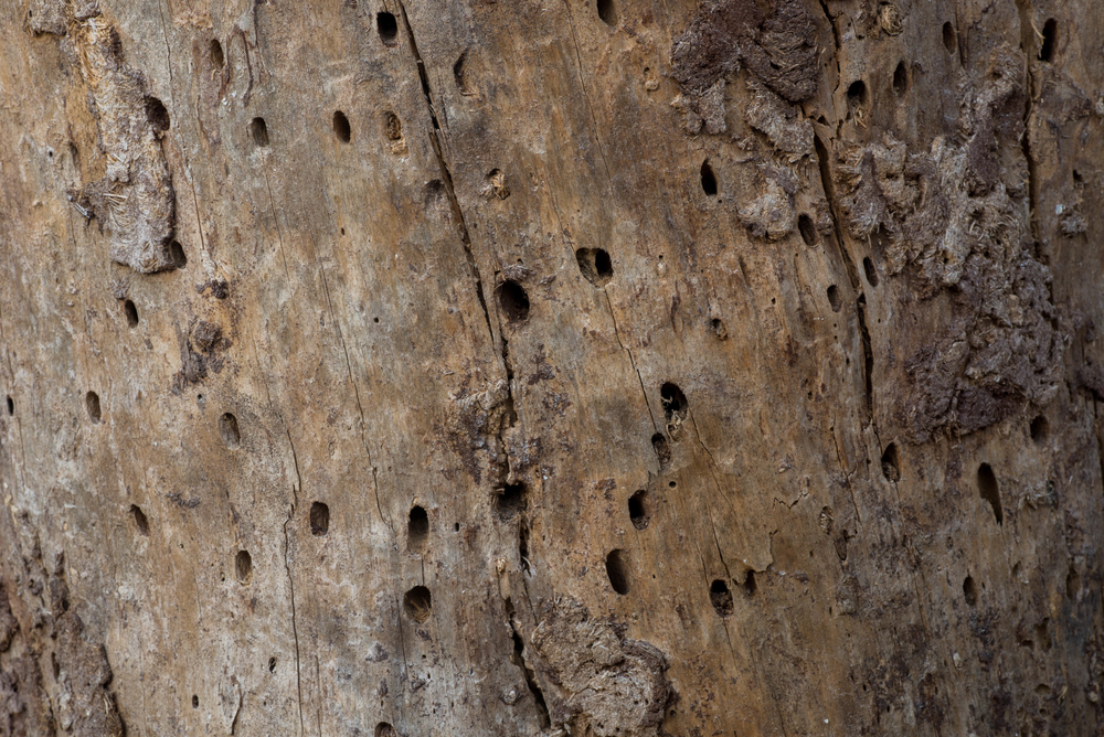 bark-beetle-holes-in-chicago-il-tree
