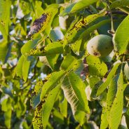 How to Identify Anthracnose: Symptoms and Treatment