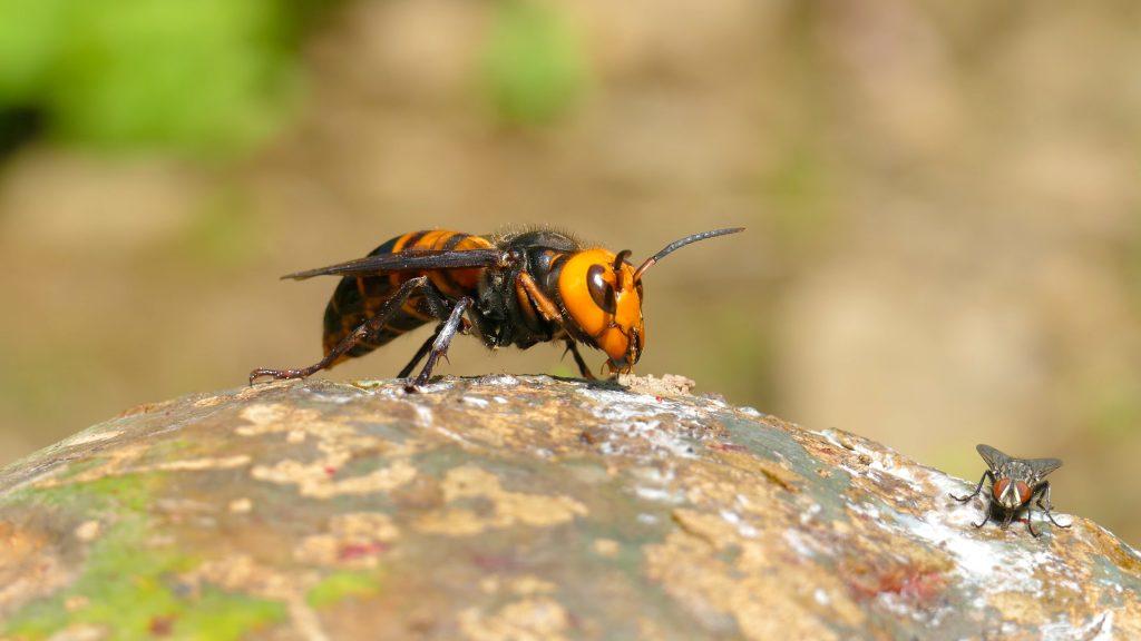 giant-hornet-vespa-mandarinia-illinois-usa
