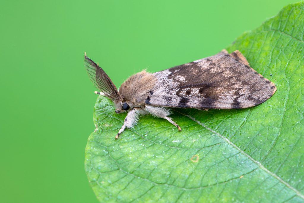 gypsy-moth-adult-stage