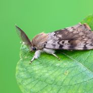 Gypsy Moth: Identification and Prevention