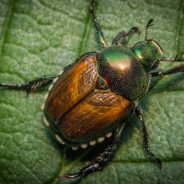 Japanese Beetles: Identification, Control, and Prevention
