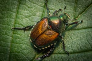 closeup-japanese-beetle-identification