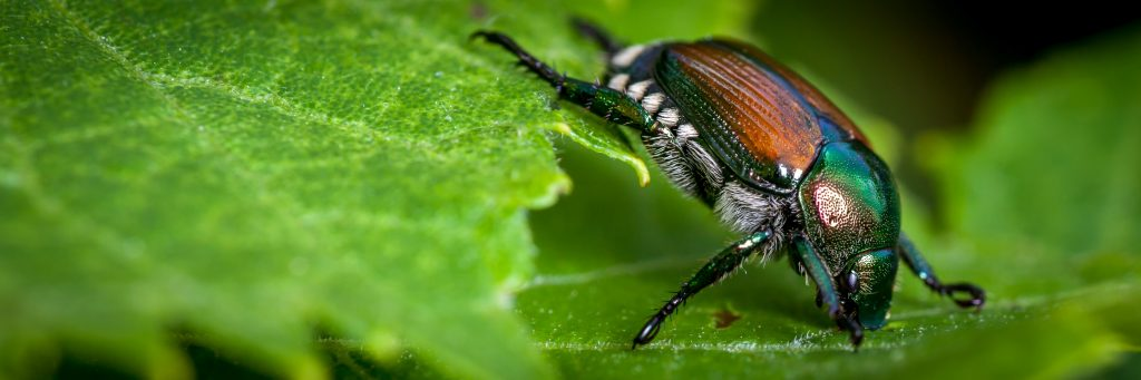 japanese-beetle-chicago-il