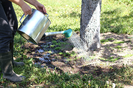 how-to-water-established-trees-chicago-il