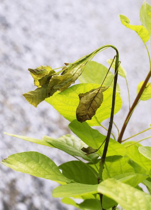 verticillium-wilt-disease-young-tree-min