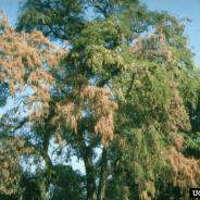 Verticillium Wilt: Identification, Symptoms, and Control