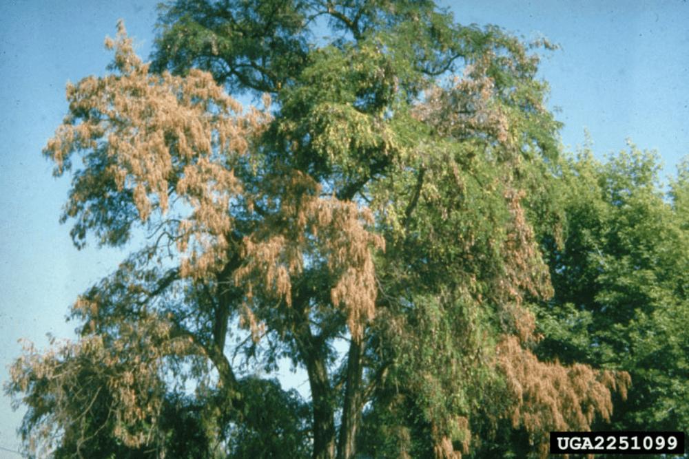 verticillium-wilt-infected-adult-tree-min