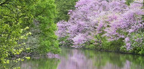 Eastern Redbud Trees in the Chicago Area