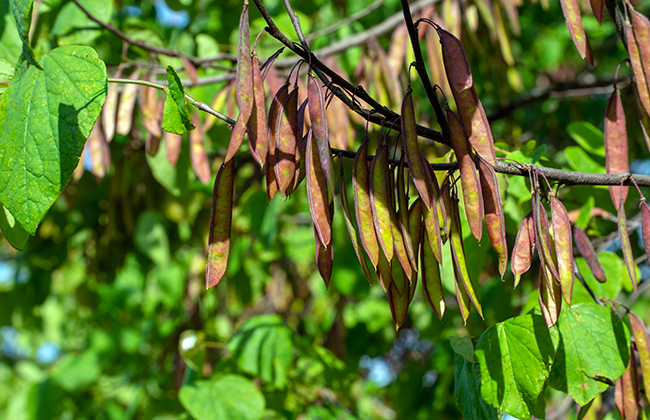 The seed pods of the Eastern Redbud tree generally ripen into autumn