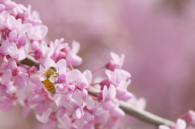 With the proper care you can not only add a flowery showpiece tree to your home or business, but also help local pollinators such as the honey bee