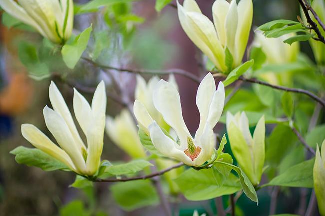 magnolia-acuminata-native-illinois-tree