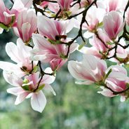 Magnolia Trees of the Chicago, IL Area