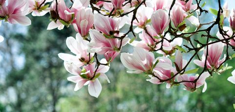 Magnolia Trees of the Chicago, IL Area