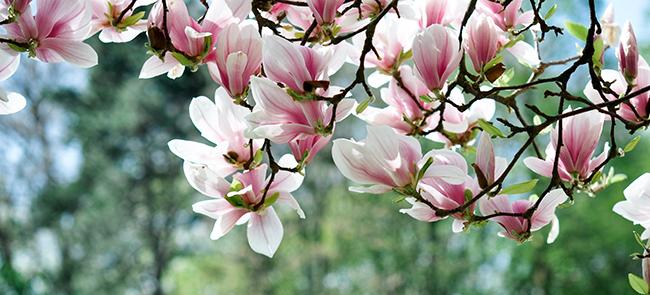magnolia-tree-flowers-chicago-il