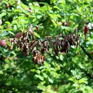 Tree Blight: Identification, Symptoms, and Control