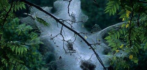 Tent Caterpillars: Identification and Control