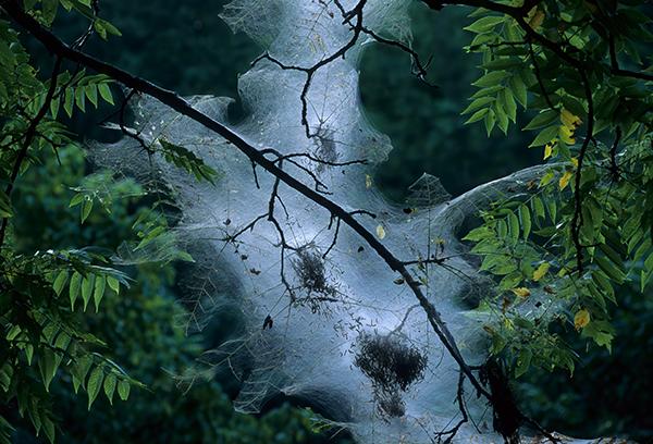 tent-caterpillar-nest-illinois