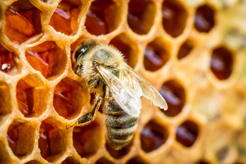 honey-bee-creating-comb-illinois-min